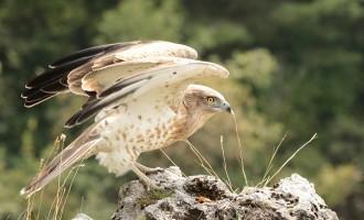 Due bianconi nidificano all'Inviolata? La storia raccontata dai Guardiaparco dei Lucretili